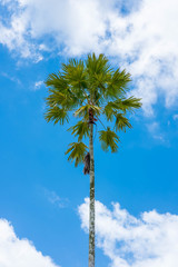 The palm tree has a backdrop of blue skies and white clouds on a clear day