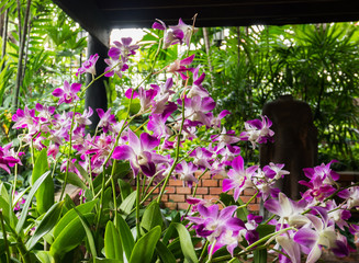 Violet Orchid Flowers blooming in the Garden.