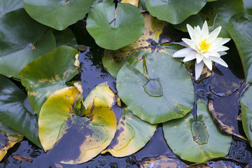 the White Lilies in a pond surrounded by its leaves