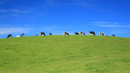 Wall Mural - Herd of cows graze on a horizon against blue sky in East Devon, England.