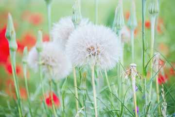 A huge white fluffy dandelion on a summer meadow among other flowers. A beautiful summer spring natural look.