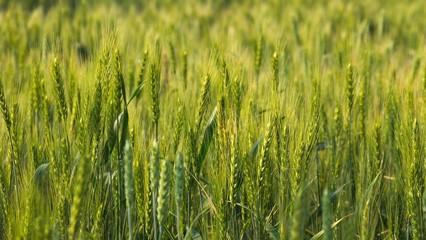 麦畑 大麦
