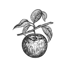 Realistic hand drawing apple.