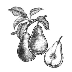 Realistic hand drawing pears.