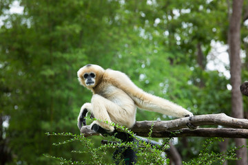 Gibbon sitting alone on the wood