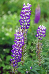 Purple spikes of mountain lupine flowers