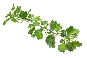 Young gooseberry leaf
