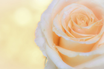Macro image of beautiful fresh yellow rose with water drops on orange background, Copy space texture background