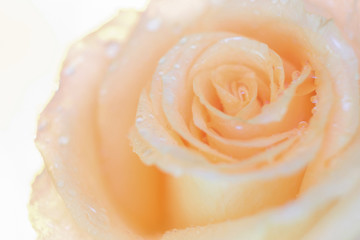 Macro image of beautiful fresh yellow rose with water drops on orange background ,Copy space texture background