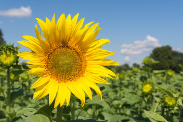 Sonnenblume Nahaufnahme im Sommer
