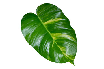 Tropical green leaf.