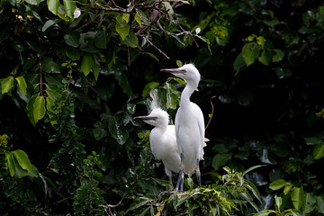 White snowy baby egret sitting on a tree branch and waiting for food