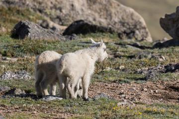 Pair of Cute Mountain Goat Kids