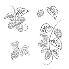 Branches of hops with cones, isolated on a white background without a shadow.