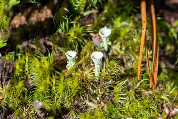 Lichen kladoniya, macro