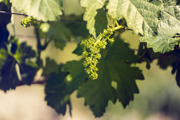Early summer in the vineyard.