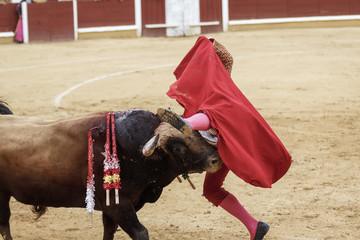 Torero y toro en la plaza. Tarde de toros. Fiesta Nacional.
