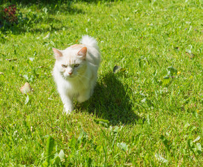 Cat Walking on the Green Grass