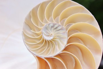 shell pearl fibonacci nautilus section spiral symmetry background half cross golden ratio structure growth close up stock photo photograph ( pompilius nautilus ) image picture