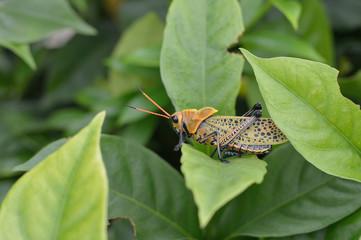 orange grasshopper side face