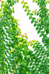 Creeping fig /climbing fig (Ficus pumila) on white wall
