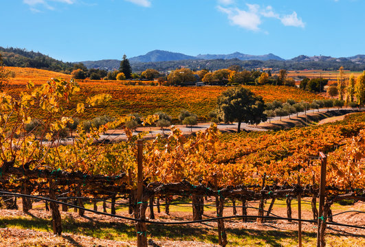 California wine country autumn landscape. Colorful fall grape leaves in gold, orange and red cover rows of terraced vines.