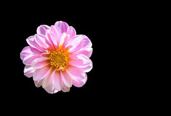 chrysanthemum flower on background,Clipping Path.