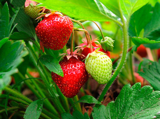 Ripe strawberry grows on a farm in the ground