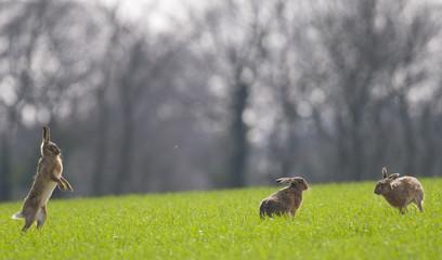 Brown Hares (lepus europaeus)
