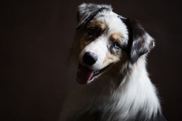Portrait of a breed of Australian cattle shepherd. The dog is spotty, looks straight up its mouth is open and the head is tilted with interest.