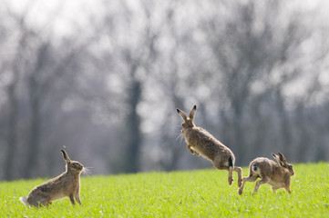 Brown Hares (lepus europaeus) boxing