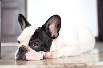 French bulldog lying on the floor in house.
