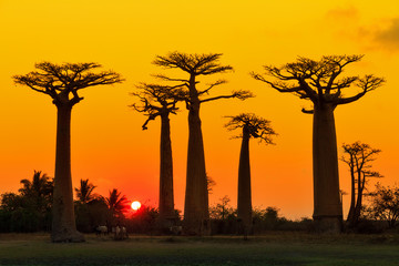 Poster Baobab Beautiful Baobab trees at sunset at the avenue of the baobabs in Madagascar