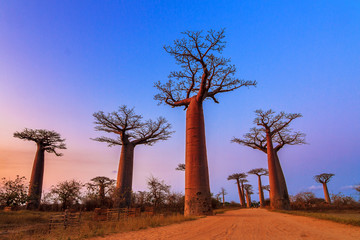 Keuken foto achterwand Baobab Beautiful Baobab trees after sunset at the avenue of the baobabs in Madagascar