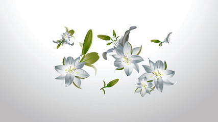 White lilies on a gray white background