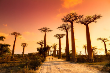 Papiers peints Baobab Beautiful Baobab trees at sunset at the avenue of the baobabs in Madagascar