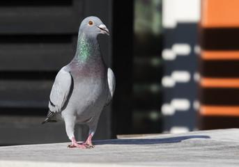 full body of speed racing pigeon walking in home lofe