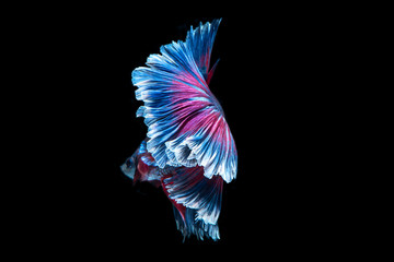 beauty colorful fish tail of Siamese fighting fish isolated on back background.