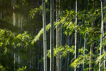Poster de jardin Bambou The sunlight through bamboo forest