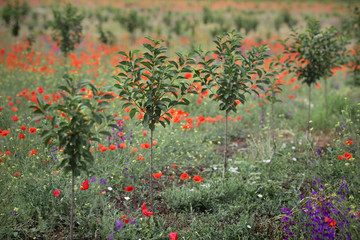 Newly planted cherry orchard in late spring with red poppies, selective focus