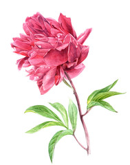 Watercolor pink peony flower in vintage style