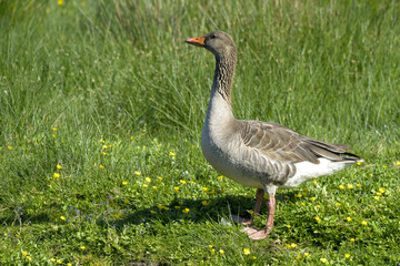 Oie rieuse,.Anser albifrons, Greater White fronted Goose