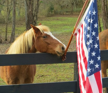 Horse standing beside United States flag