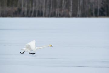 Running swan in winter landscape