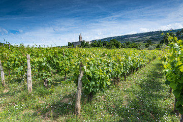 Vine plantation in rural Slovenia