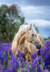 Palomino horse among blooming lupine flowers.