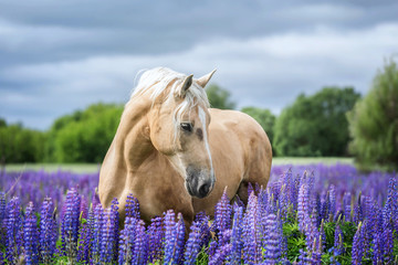 Portait of a Palomino horse among lupine flowers.