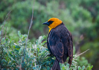 Yellow-headed blackbird Xanthocephalus perched on sagebrush in Grand Tetons National Park