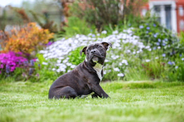 Portrait of an English Staffordshire Bull terrier.
