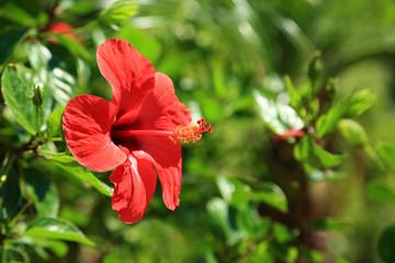 Czerwony Kwiat na wyspie Rodos, śródziemnomorskie kwiaty.